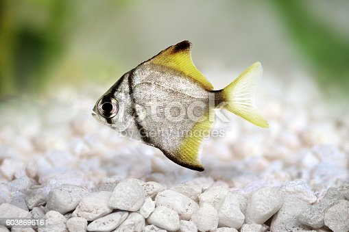 silver moonfish Monodactylus argenteus Aquarium fish Malayan angel isolated