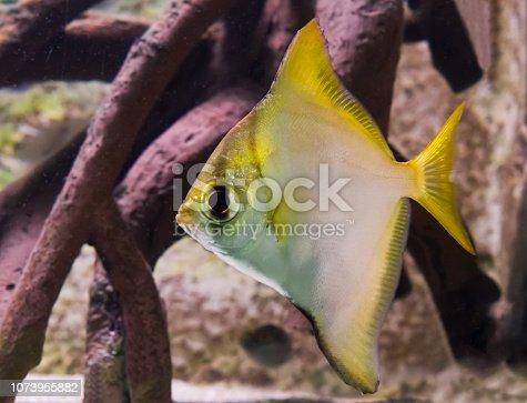 istock silver moonyfish in closeup, a tropical aquarium pet from the pacific ocean 1073955882