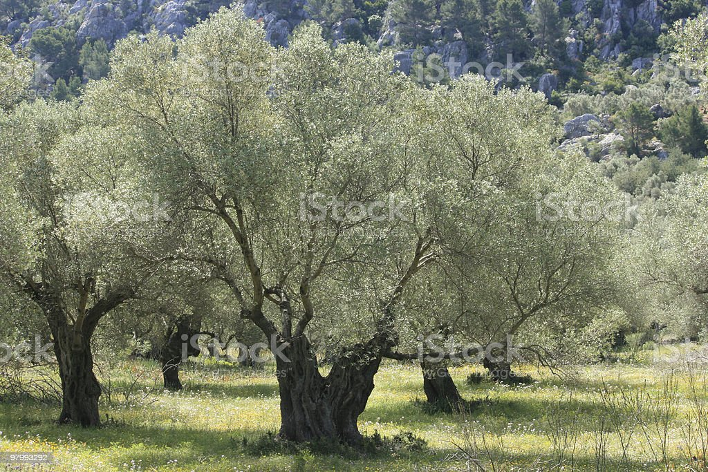 silver olive tree royalty-free stock photo