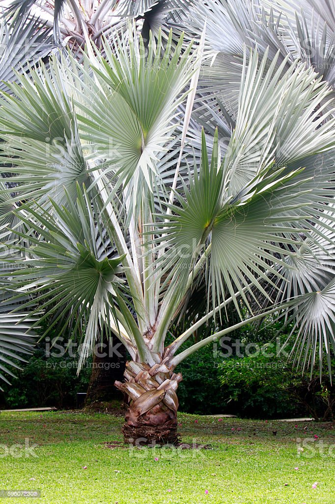 Silver palm tree in a green park stock photo