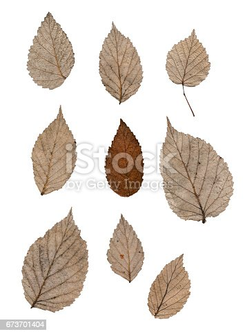 istock Silver raspberry leaf isolated on white 673701404