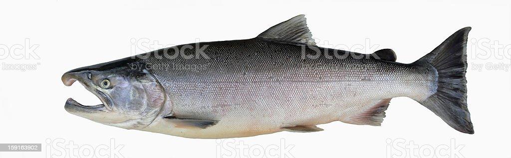 Silver salmon, Alaska royalty-free stock photo