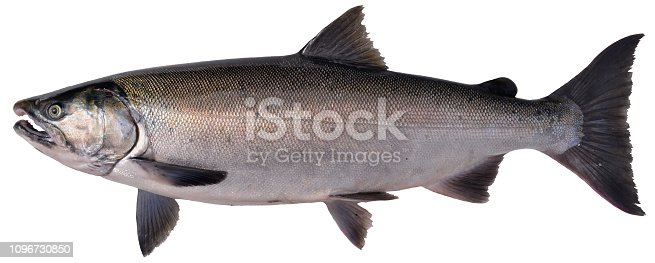View of a real (not a plastic wall trophy) alaskan salmon, caught in Susitna River near Willow, Alaska. This is a female silver salmon or coho known scientifically as Oncorhynchus kisutcha.