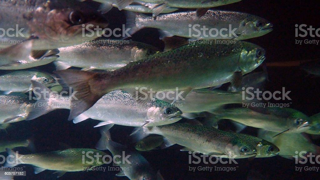 Silver Salmon Run Closeup stock photo