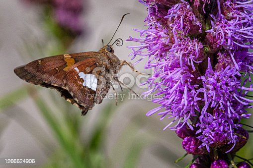 Silver Spotted Skipper butterfly collecting nectar.