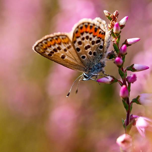 Silver studded blue butterfly on heath picture id521371541?b=1&k=6&m=521371541&s=612x612&w=0&h=r 4mt8ztvhywkzancvvoawbbxanyppswumjugws2lnw=