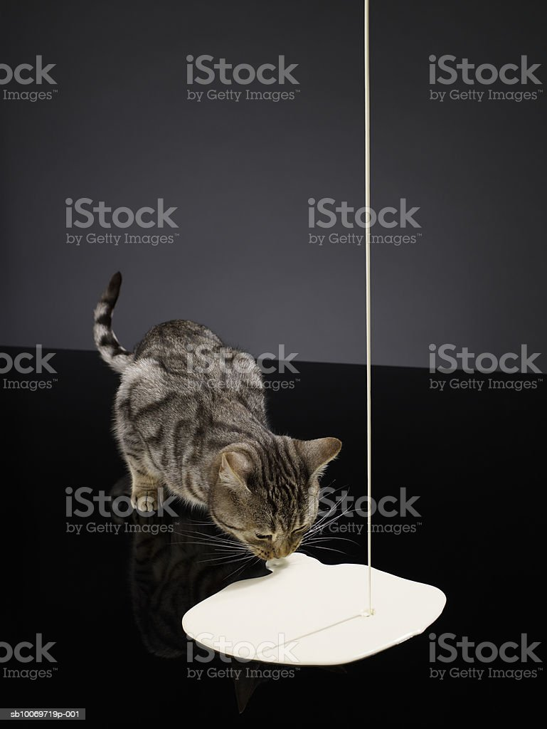 Silver tabby cat drinking cream from floor poured from above royalty free stockfoto