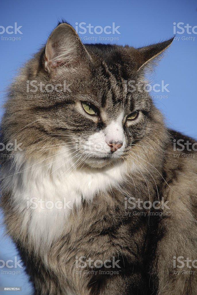 Plata gato atigrado foto de stock libre de derechos