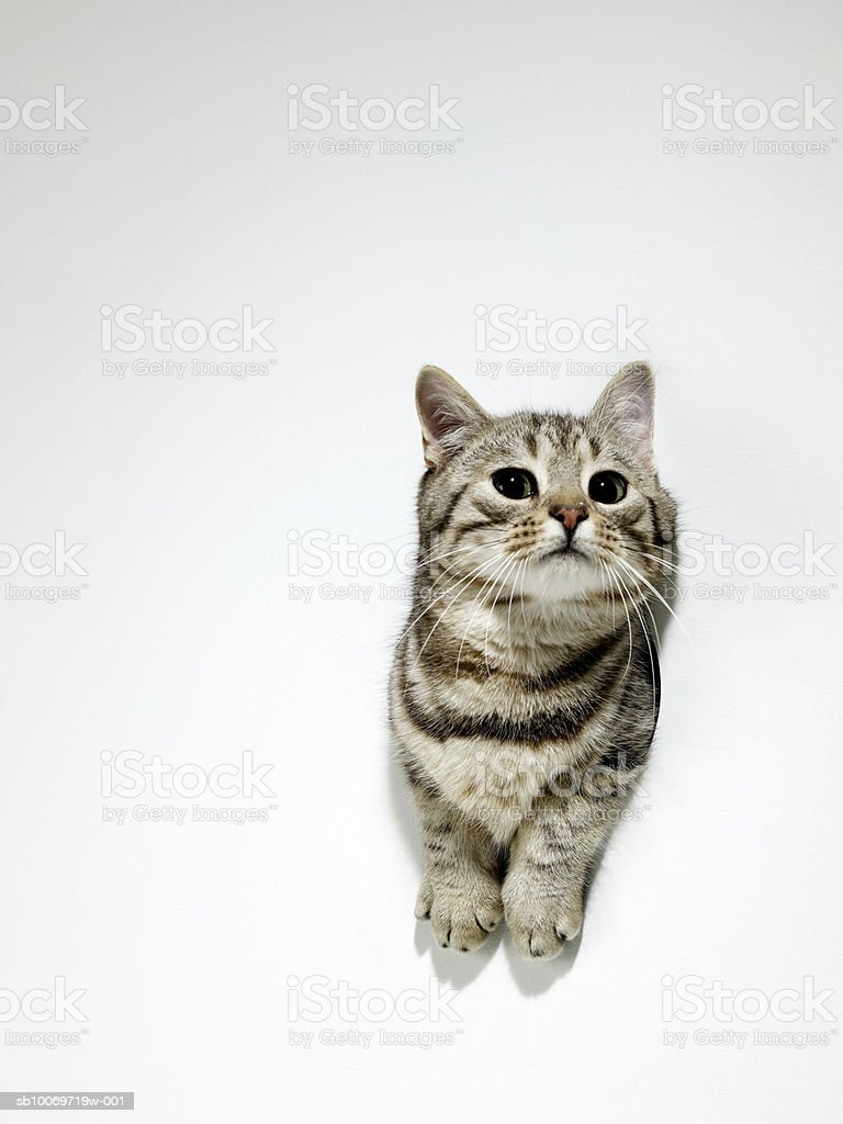 Silver tabby squeezing through hole in the wall royalty-free stock photo