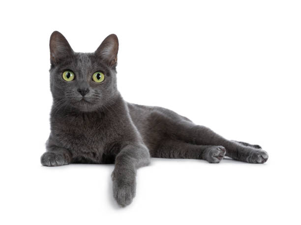 silver tipped blue adult korat cat laying down side ways with one paw hanging over edge and looking straight at camera with green eyes, isolated on white background - cat stock pictures, royalty-free photos & images
