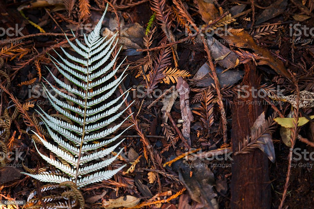 Silver Tree Fern Leaf stock photo