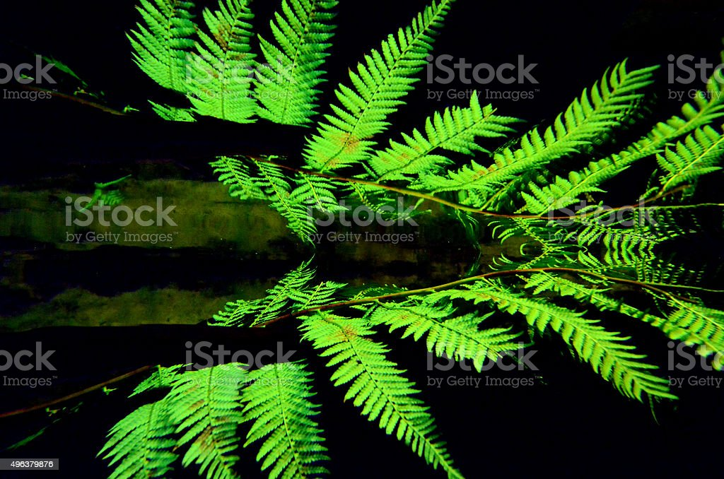 Silver tree fern stock photo