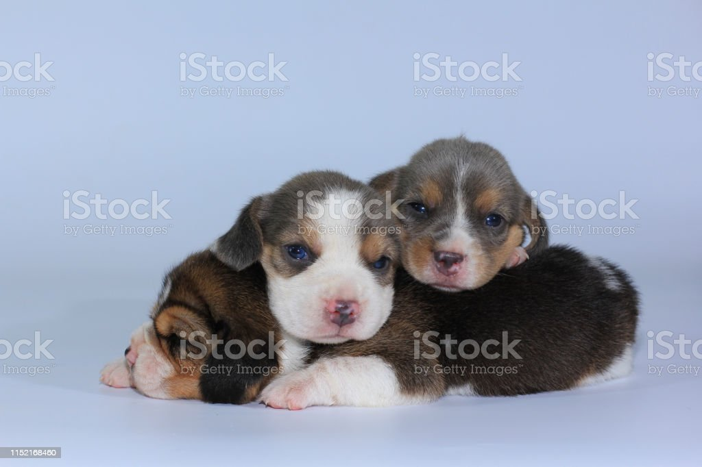Silver Tri Color Beagle Puppy Is Sleeping And Looking In First Time Stock Photo Download Image Now Istock