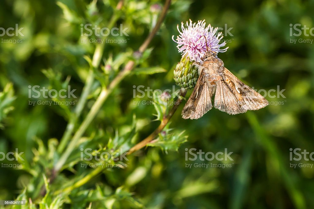 Silver Y Moth Stock Photo - Download Image Now - iStock