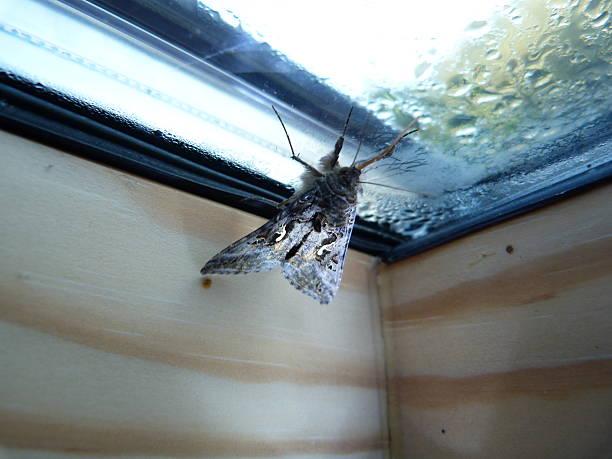 silver y-moth at a window - mottenfalle stock-fotos und bilder