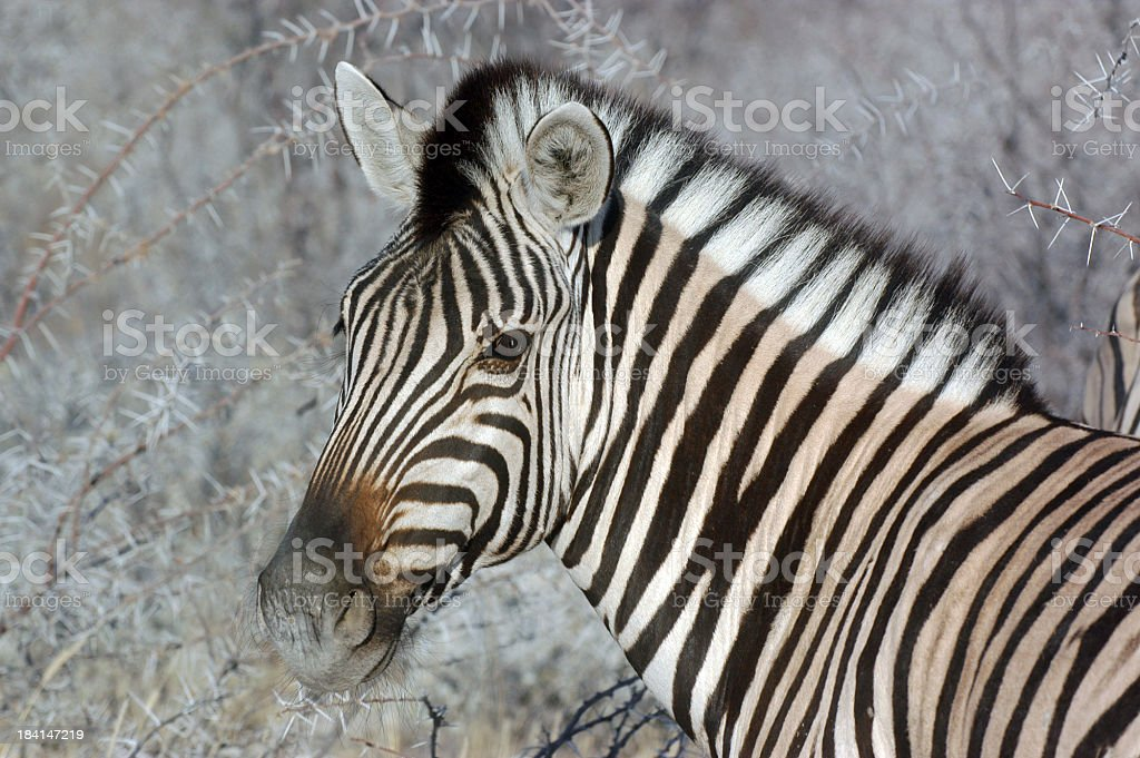 Silver Zebra stock photo