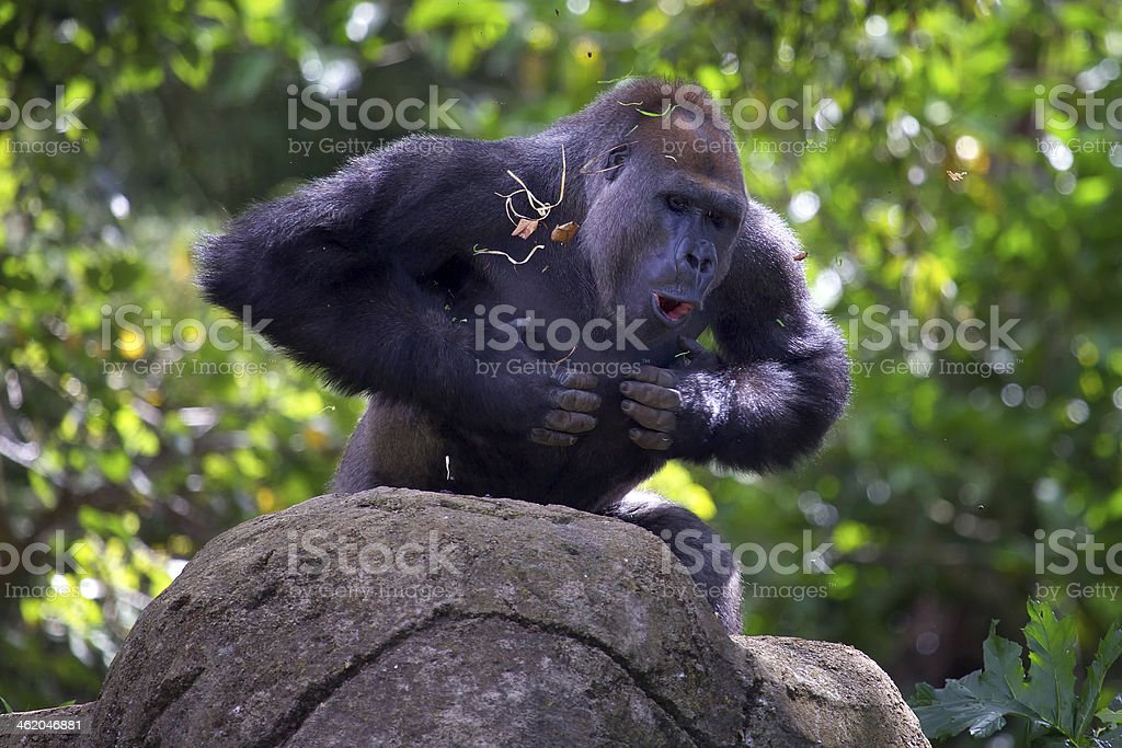 Silverback gorilla beating chest stock photo