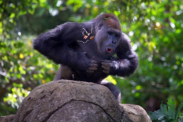 gorila lomo plateado golpeando el pecho - gorila fotografías e imágenes de stock