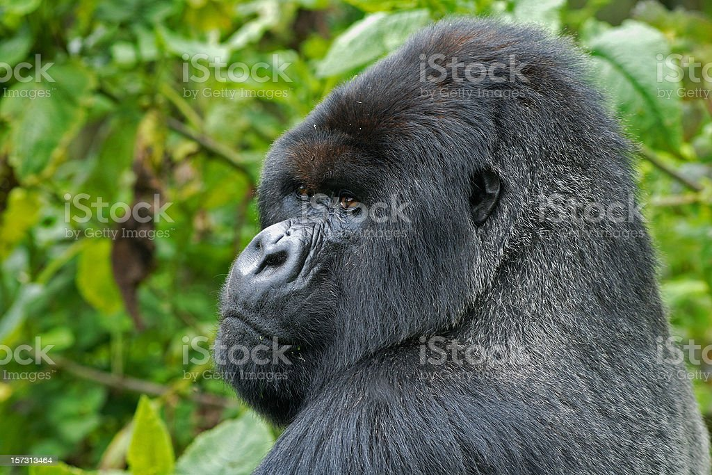 Silverback Gorilla in Rwanda royalty-free stock photo