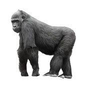 Silverback gorilla standing on a lookout isolated on white background