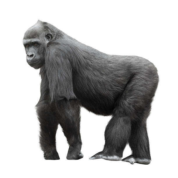 Silverback gorilla isolated on white stock photo