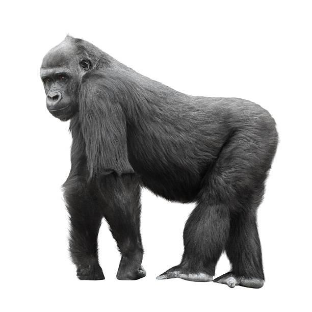 gorila lomo plateado aislado en blanco - gorila fotografías e imágenes de stock