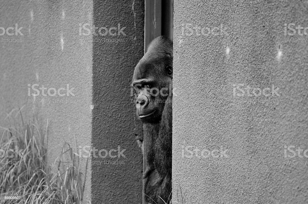 Silver-back gorilla looks out from a doorway royalty-free stock photo