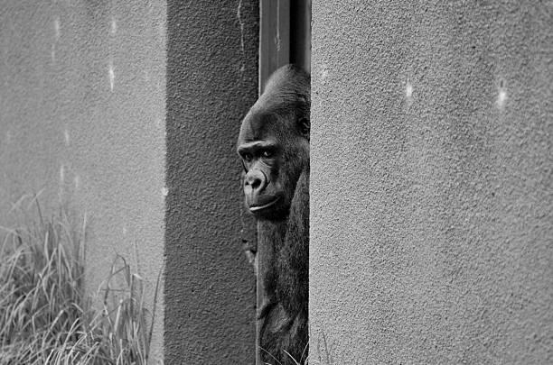 silver-rücken gorilla blick vom eingang - mark tantrum stock-fotos und bilder