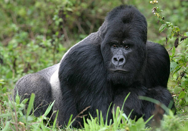 Silverback gorilla lying in lush green vegetation stock photo