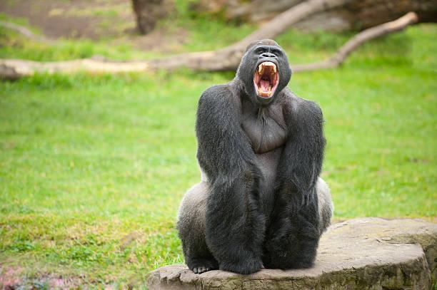gorila lomo plateado hace scary cara - gorila fotografías e imágenes de stock
