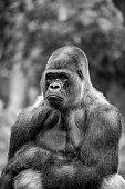 Silverback gorilla, black and white image