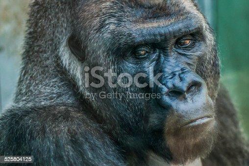Close up picture of a silverback gorilla