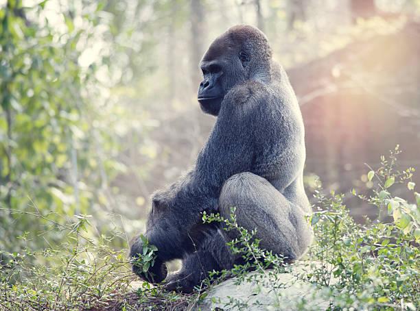 silverback gorilla - gorilla stock photos and pictures
