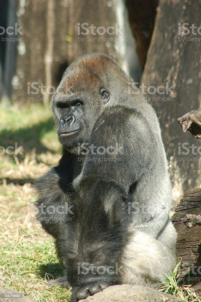 Silverback Gorilla royalty-free stock photo