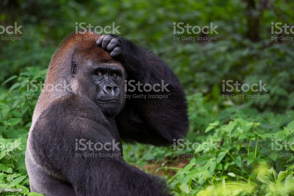 Silverback Gorilla Scratching Head stock photo