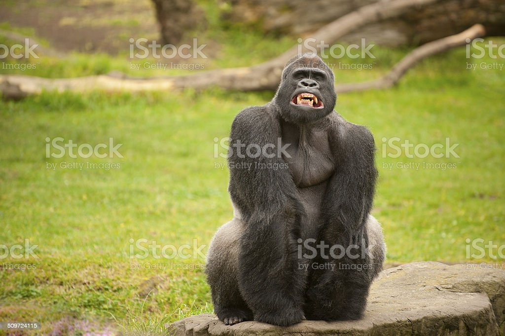Silverback gorilla with funny grin stock photo