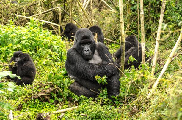 gorilas de espalda plateada - gorila fotografías e imágenes de stock