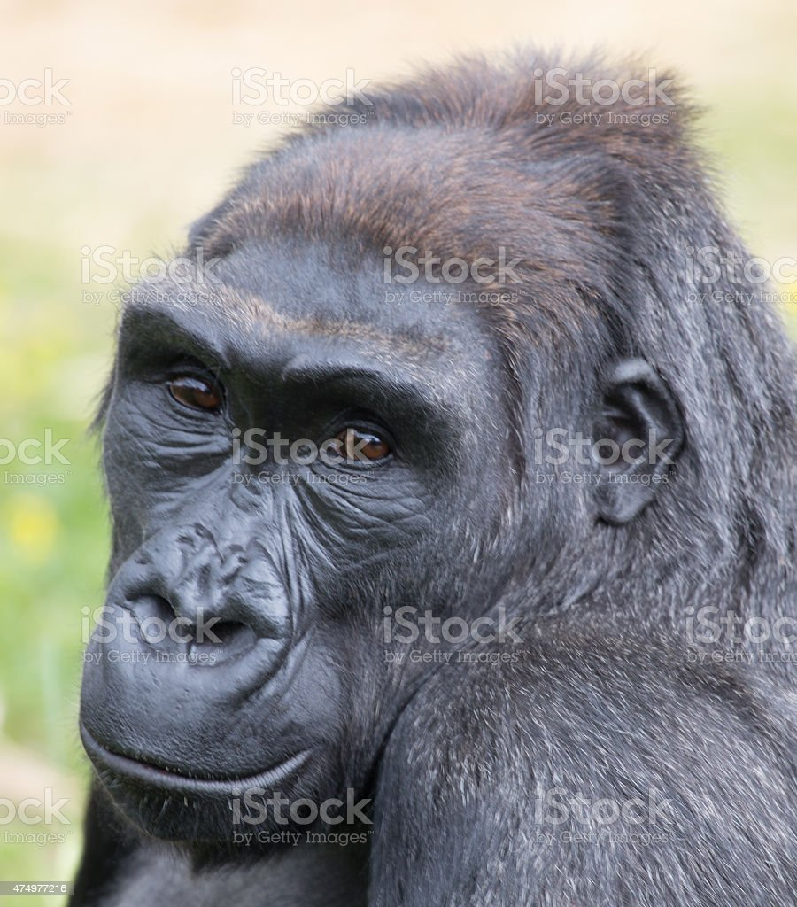 Silverback looking thoughtful stock photo