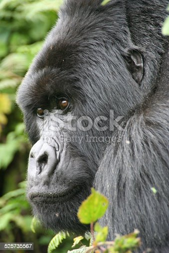 A dominant silverback mountain gorilla in Rwanda's Parc National des Volcans