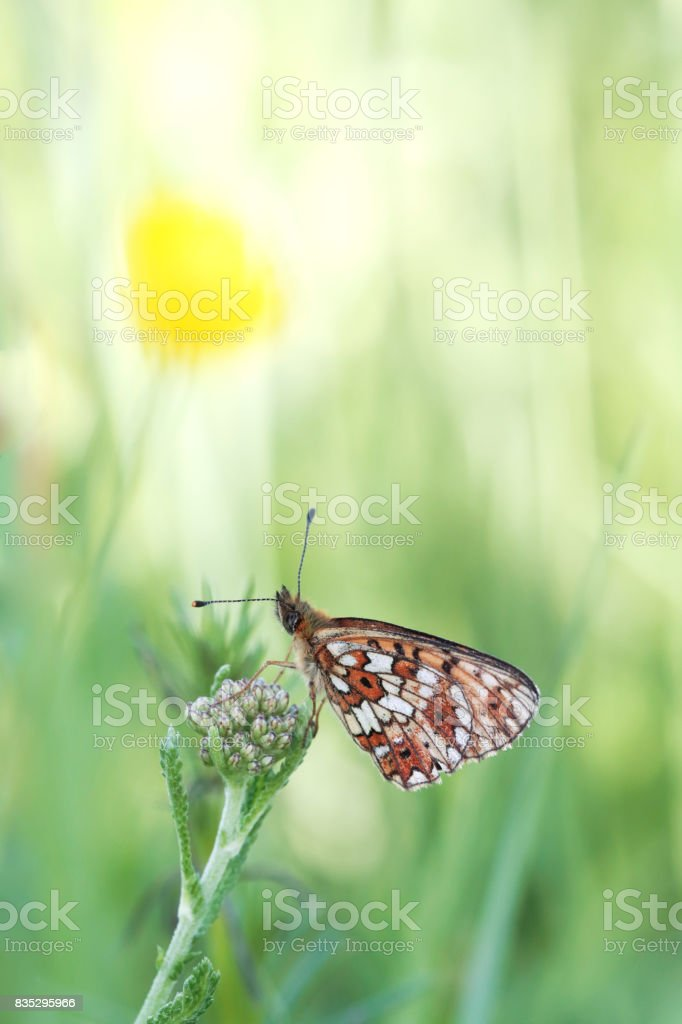 Silver-bordered Fritillary Butterfly (Boloria selene) stock photo