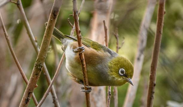 Silvereye Bird inquisitive South Island NZ stock photo