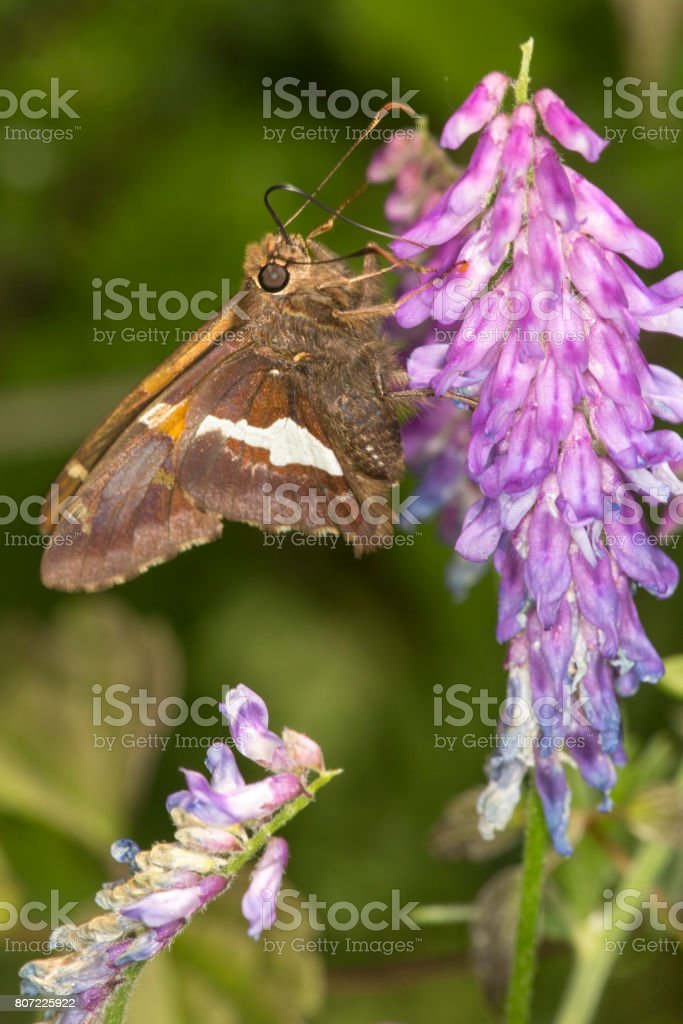 Silver-spotted skipper butterfly on lupine flower in Connecticut. stock photo