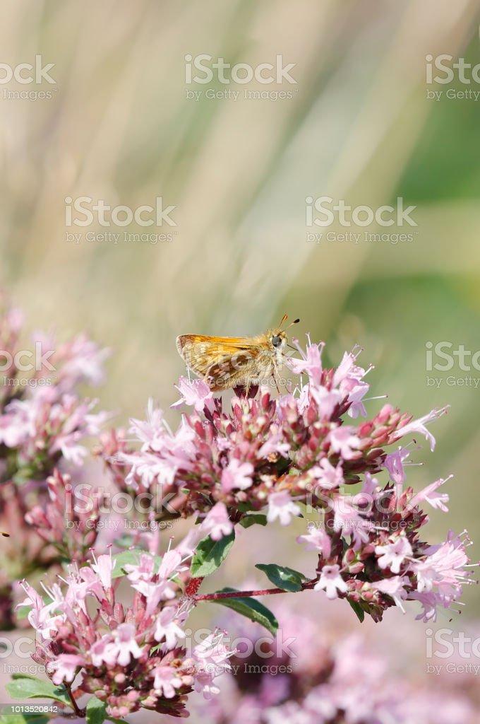 Zilver gevlekt schipper vlinder (Hesperia comma) aan Marjolein foto