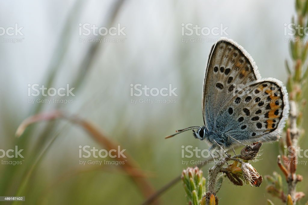 Silver-studded Blue Butterfly stock photo