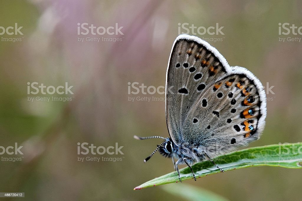 Silver-studded blue stock photo