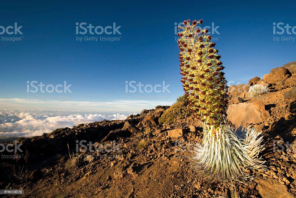 Silversword plant in flower, Haleakala National Park, Maui, Hawaii stock photo