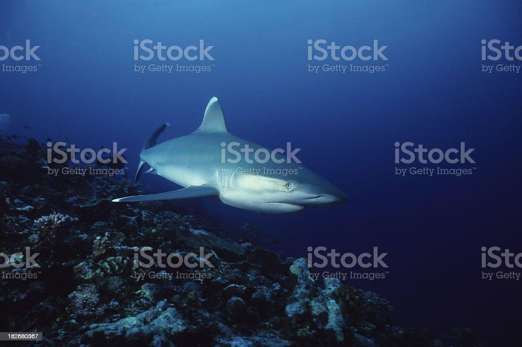 Silvertip Reef stock photo