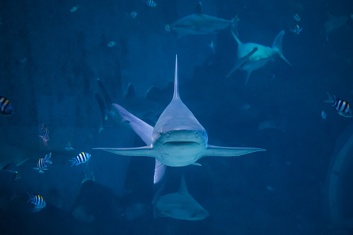 istock A silvertip shark swimming toward camera 1014309316