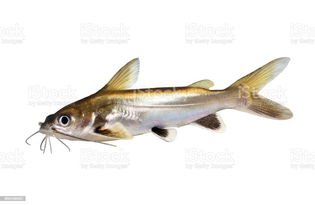 Silberbestückte Shark Wels Ariopsis Seemanni Silber Gekippt Aquarium