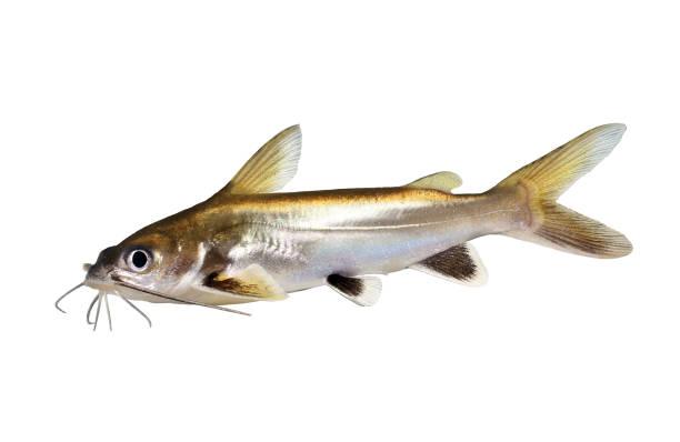 zilver-tipped shark catfish ariopsis seemanni zilver getipt aquarium vissen geïsoleerd - caernarfon and merionethshire stockfoto's en -beelden